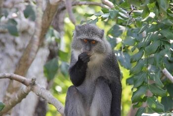 Samango Monkey (Sykes\' Monkey), Magoebaskloof, Limpopo