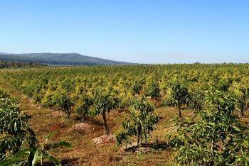 Maluma avocado, Tzaneen, Limpopo